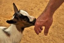 goat & man